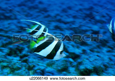 Stock Photograph of Close up of two striped pennant coral fish.
