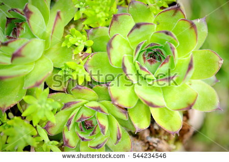 Houseleek Stock Photos, Royalty.