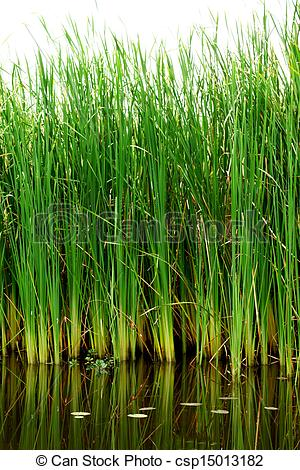 Pictures of Thai papyrus (Typha angustifolia) csp15013182.