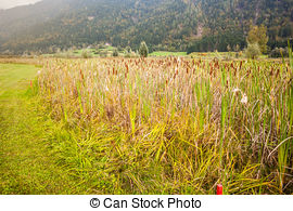 Picture of Reed plants Typhaceae.