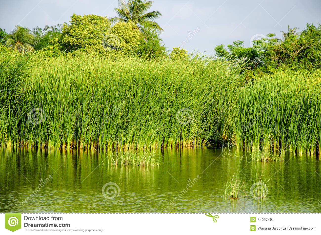 Typha Grass Plant. Stock Photo.