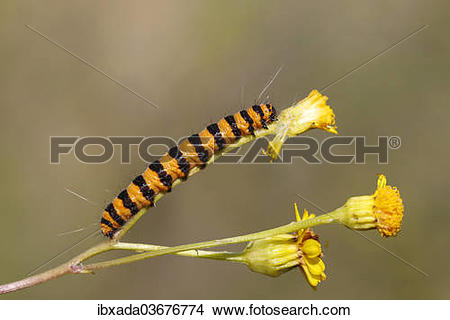 "Stock Photo of ""Cinnabar Moth (Tyria jacobaeae), caterpillar."