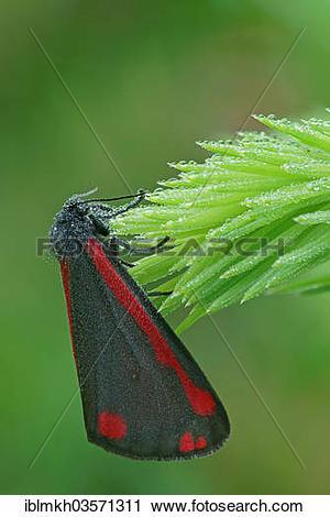 "Stock Photography of ""Cinnabar Moth (Tyria jacobaeae), Bad."