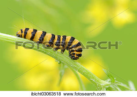 """Pictures of """"Caterpillar of the Cinnabar Moth (Tyria jacobaeae."""