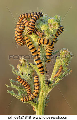 """Pictures of """"Caterpillars from the Cinnabar Moth (Tyria jacobaeae."""