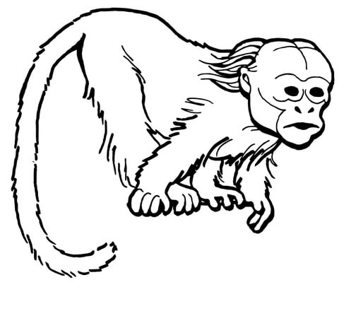 Curious Uakari Monkey coloring page.