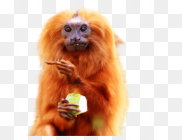 Bald Uakari PNG and Bald Uakari Transparent Clipart Free.