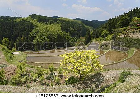 Stock Photo of Ougi Terraced Rice Paddies, Ubuyama, Kumamoto.
