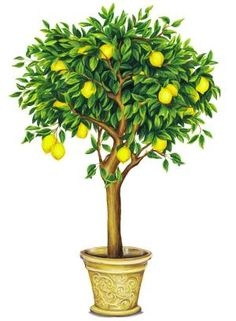 Potted Lemon Tree.
