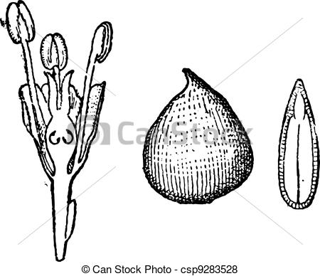 Vector of Ulmaceae, vintage engraving.