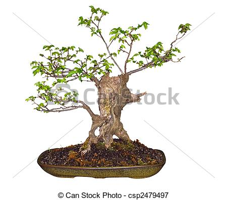 Picture of Bonsai Elm (Ulmaceae) isolated csp2479497.