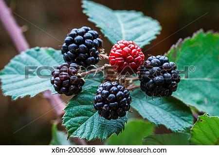 Stock Images of Wild Blackberry (Rubus ulmifolius) with fruits.
