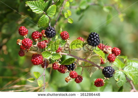Bramble Bush Stock Photos, Royalty.