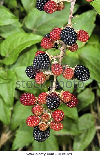 Blackberry Rubus Ulmifolius Black Rubus Stock Photos & Blackberry.