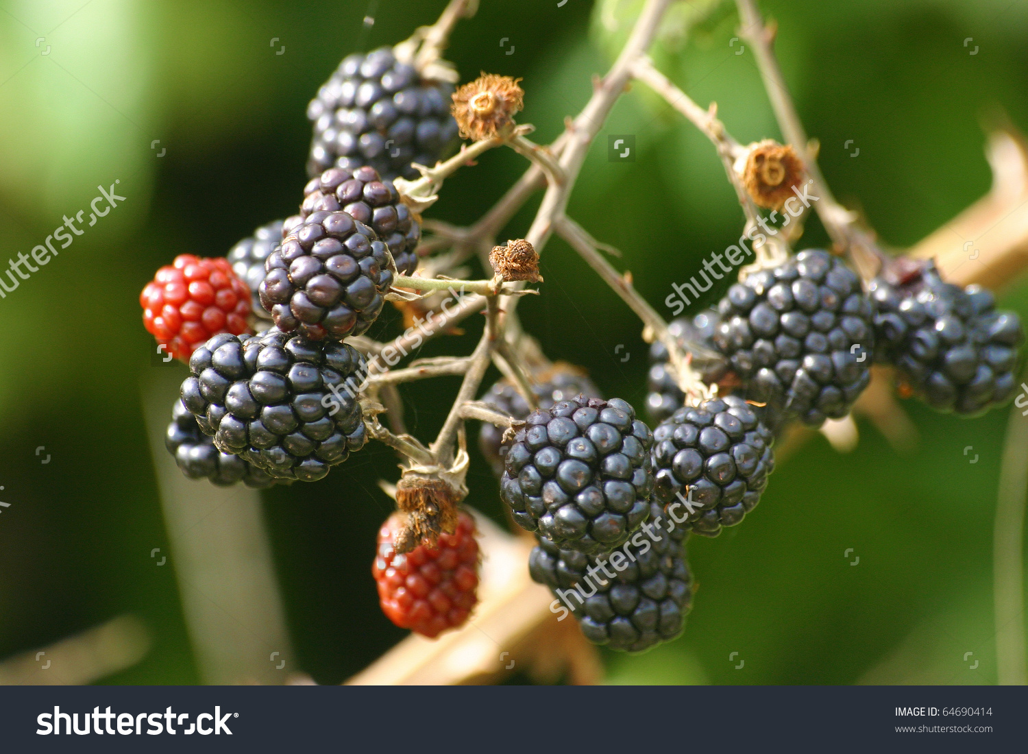 Wild Blackberry (Rubus Ulmifolius) Fruits On A Bush Stock Photo.