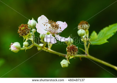 Ulmifolius Stock Photos, Royalty.