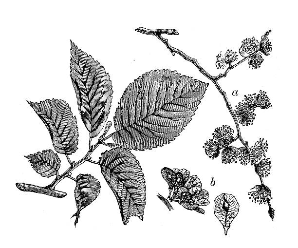 Antique Illustration Of Ulmus Minor (Field Elm) Clip Art, Vector.