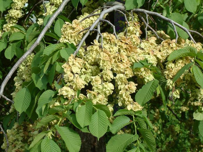 Ulmus glabra (Wych elm) (Ulmus montana).