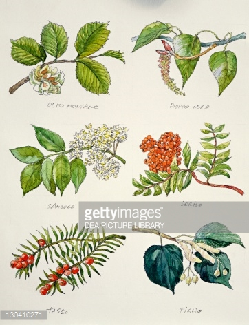 Botany Branches Of Wych Elm Tree Ulmus Montana Or Glabra Black.