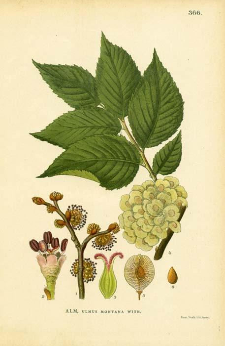 Antique 1905 Botanical Image Ulmus Montana by wordsandmelodies.