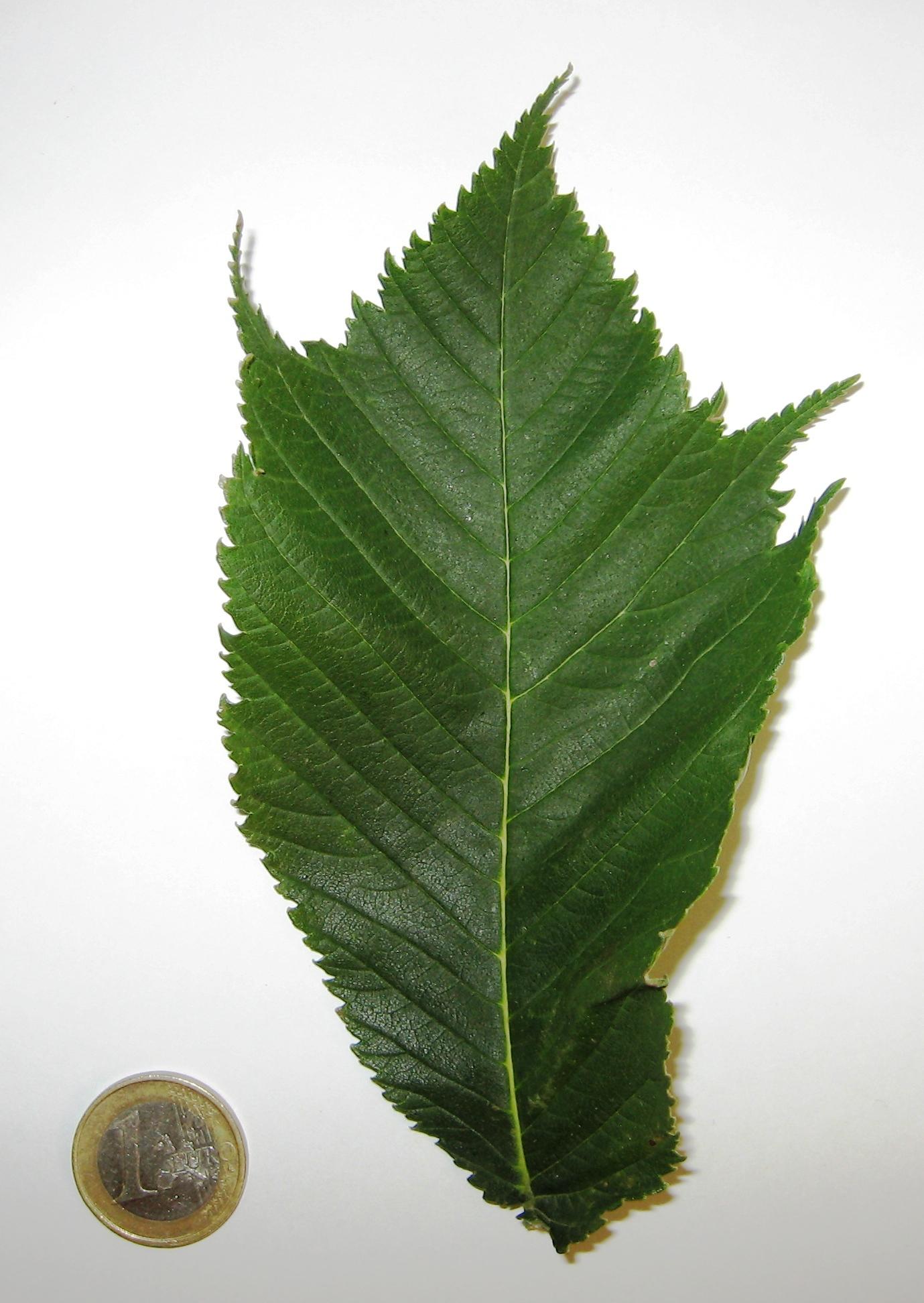 Ulmus glabra 'Cornuta'.