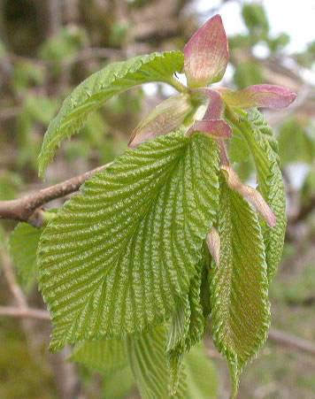 Ulmus montana Sm. : Photos 2.