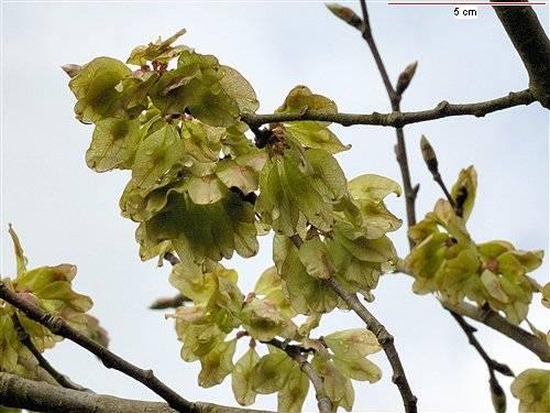 Ulmus montana Sm. : Photos 5.