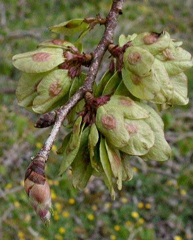 Ulmus montana Sm. : Photos 4.