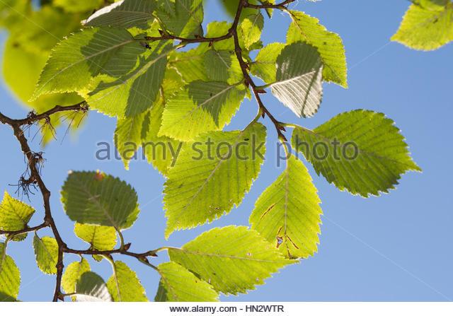 Elm Tree Leaf Stock Photos & Elm Tree Leaf Stock Images.
