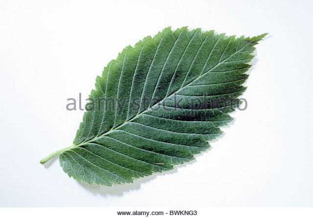 Elm Leaves Stock Photos & Elm Leaves Stock Images.
