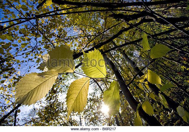 Elm Leaf In Autumn Stock Photos & Elm Leaf In Autumn Stock Images.
