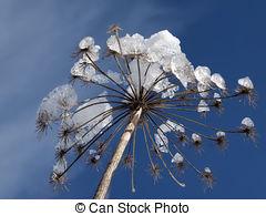 Picture of Apiaceae (Umbelliferae)..