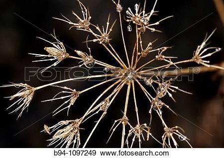 Stock Photograph of Dried plant (fam. Umbelliferae). Osseja.