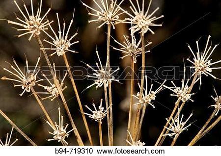 Stock Photography of Dried plant (fam. Umbelliferae). Osseja.