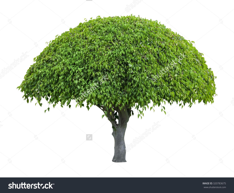 Beautiful Umbrella Shaped Tree Isolated On Stock Photo 320783675.
