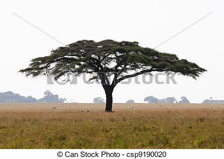 Stock Photography of Serengeti acacia tree.