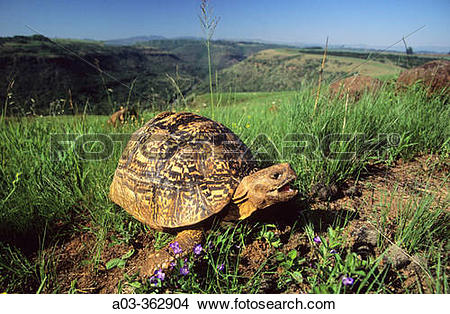 Stock Photo of Leopard tortoise (Geochelone pardalis). Umgeni.