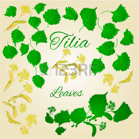 920 Linden Flower Stock Vector Illustration And Royalty Free.