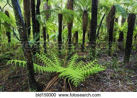 Stock Photography of Fern growing in forest undergrowth bld159300.