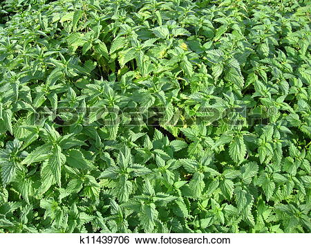 Stock Illustration of undergrowth of cruel nettle k11439706.