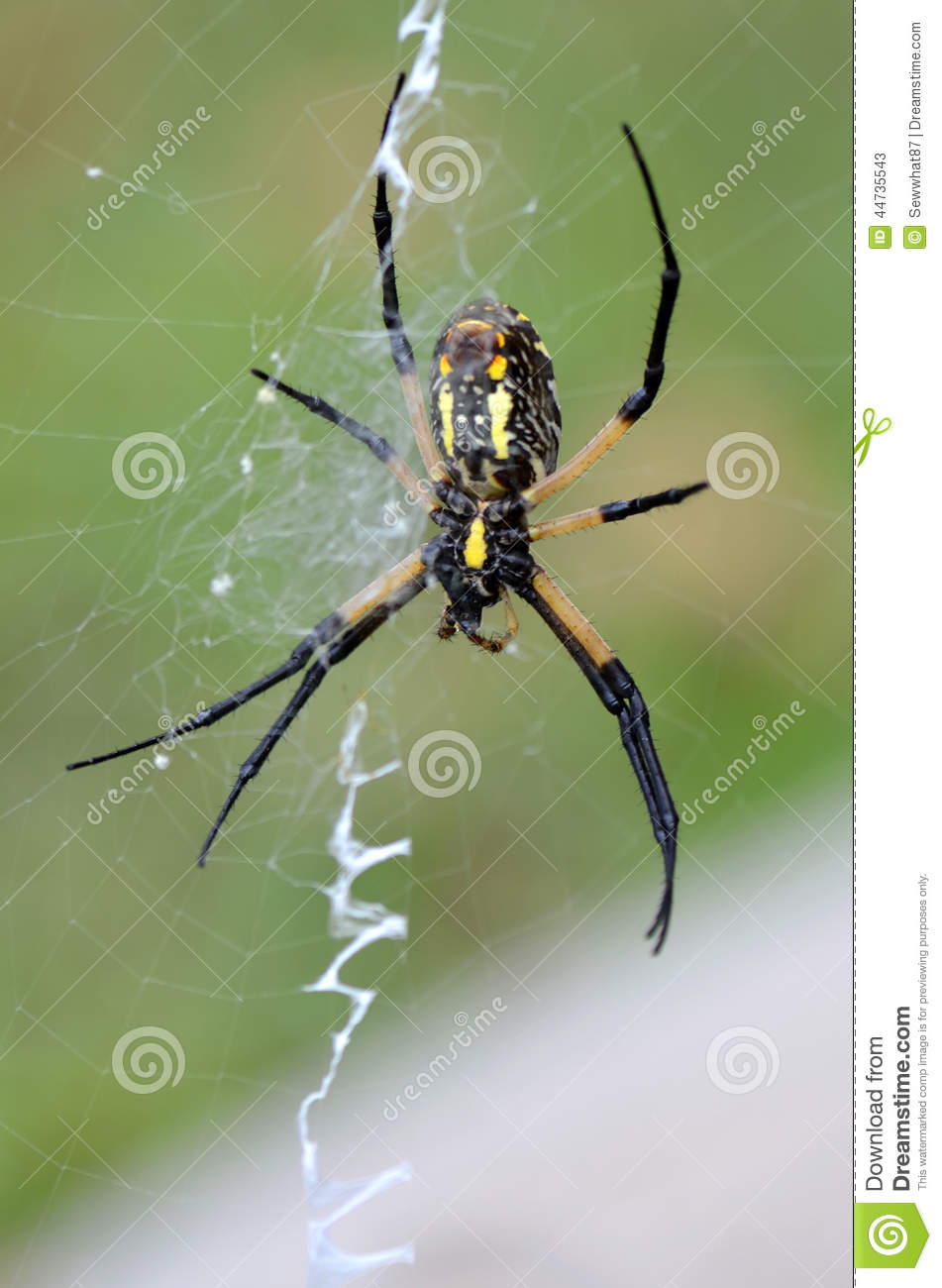 Writing Spider, Underside Close Up Stock Photo.