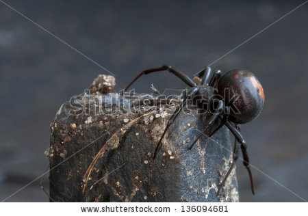 """red Back Spider"" Stock Photos, Royalty."