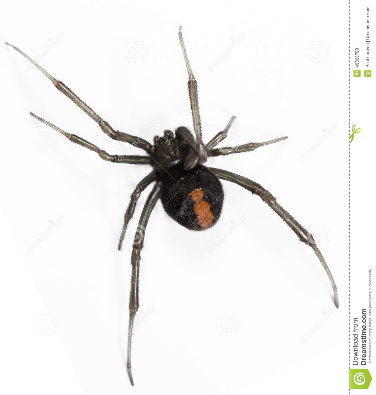 Spider Redback Black Widow Isolated White Stock Photos, Images.