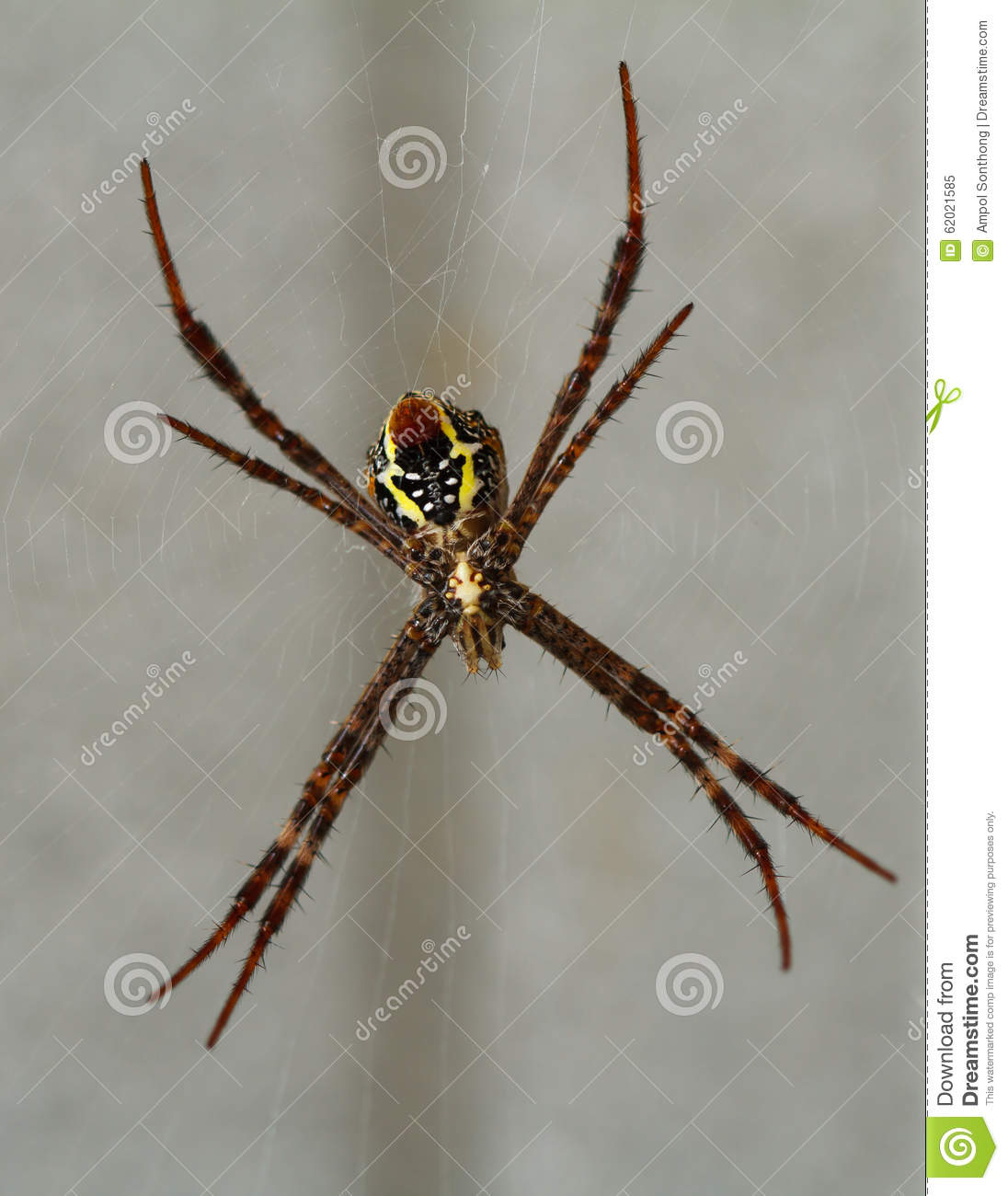 Bottom Belly Of Spider Stock Photo.