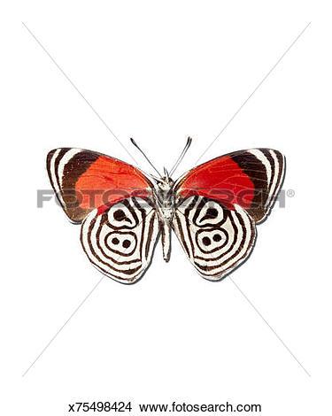 Stock Photo of Underside of The Meadow Wanderers Butterfly.