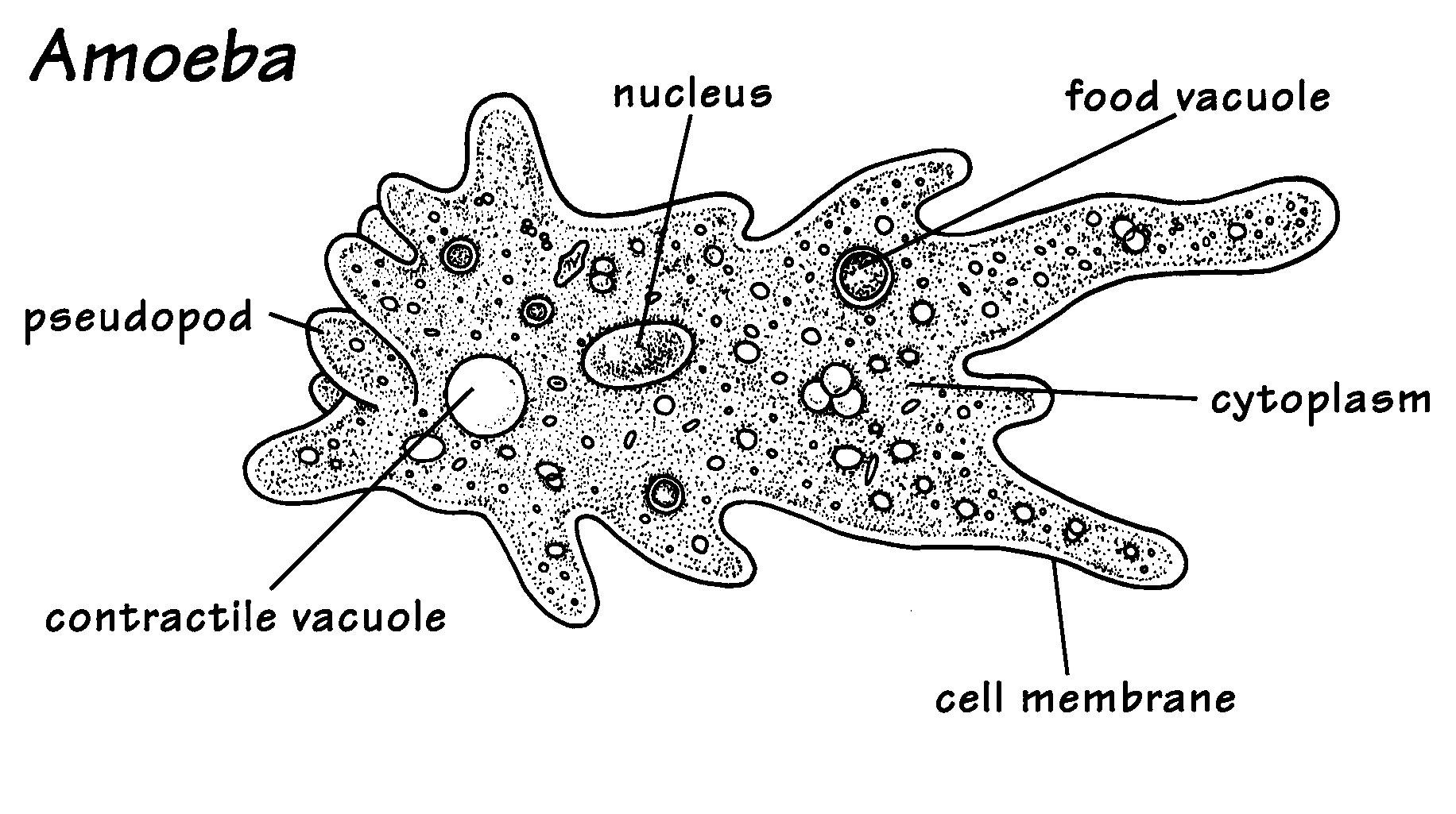 This is a picture of an amoeba, an amoeba is a unicellular.