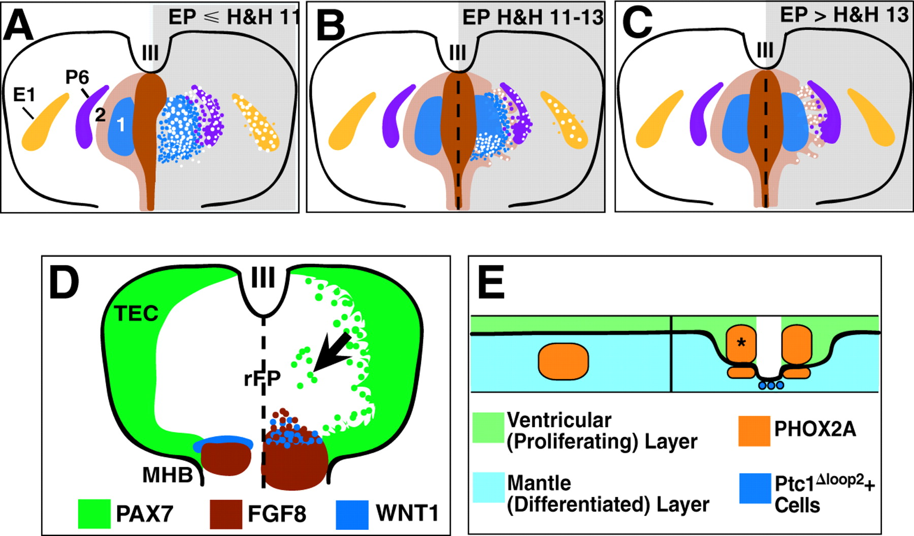 Regulation of ventral midbrain patterning by Hedgehog signaling.