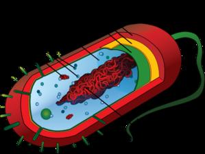 Unlabeled Bacteria Clip Art at Clker.com.