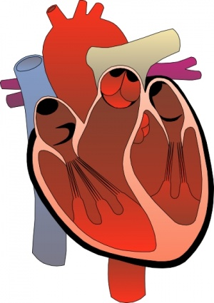 Human heart in body clipart.