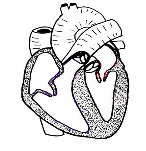 Heart Ls Unlabelled.